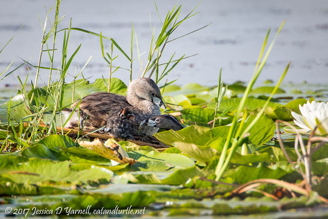 Pied-billed Grebe Feeding Baby at Nest