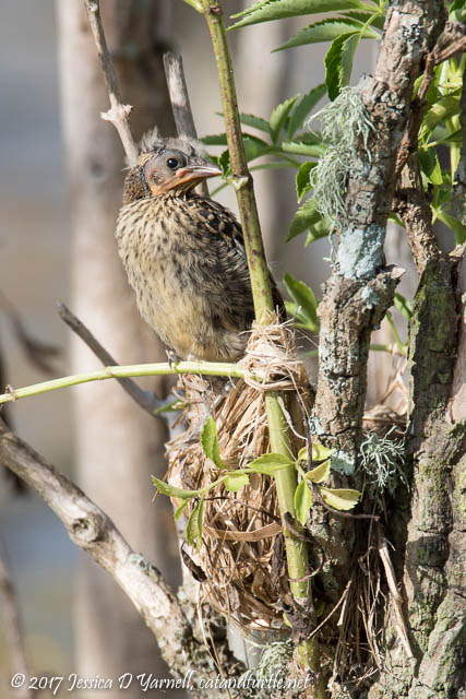 Red-winged Blackbird Babies at Nest