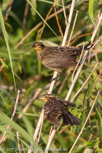 Juvenile Red-winged Blackbirds