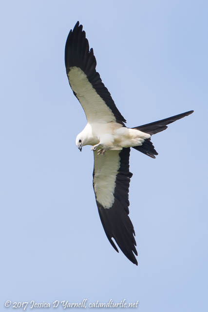 Swallow-tailed Kite with Bug in his Mouth...Don't Chew with your Mouth Open!