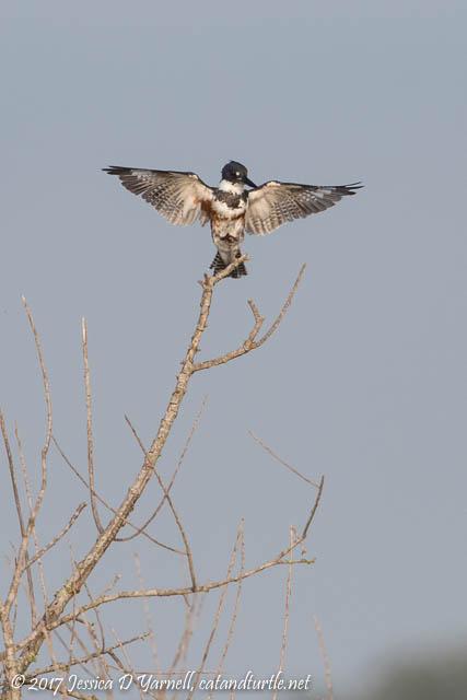 Belted Kingfisher Landing