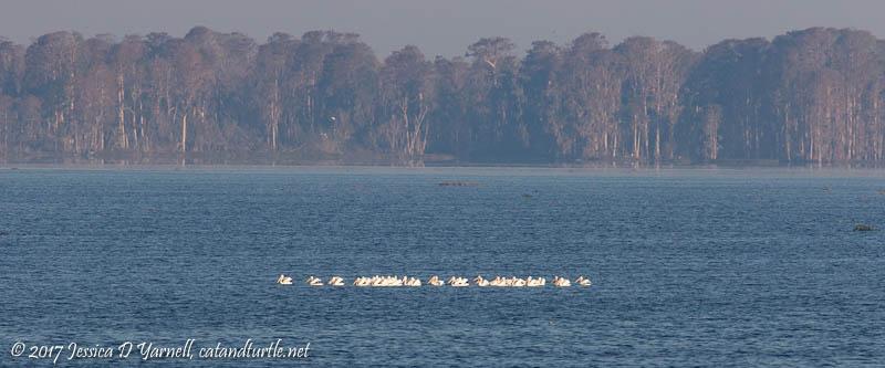 American White Pelicans on Lake Hancock