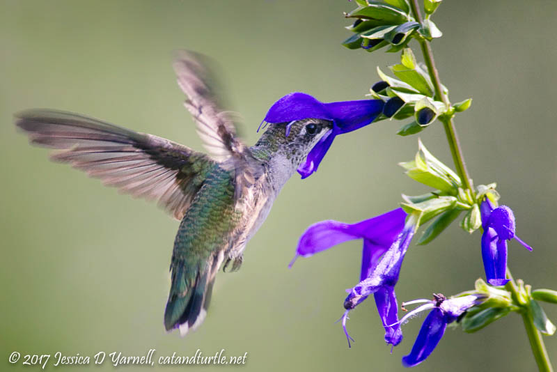 Ruby-Throated Hummingbird Nectaring at Black and Blue Salvia