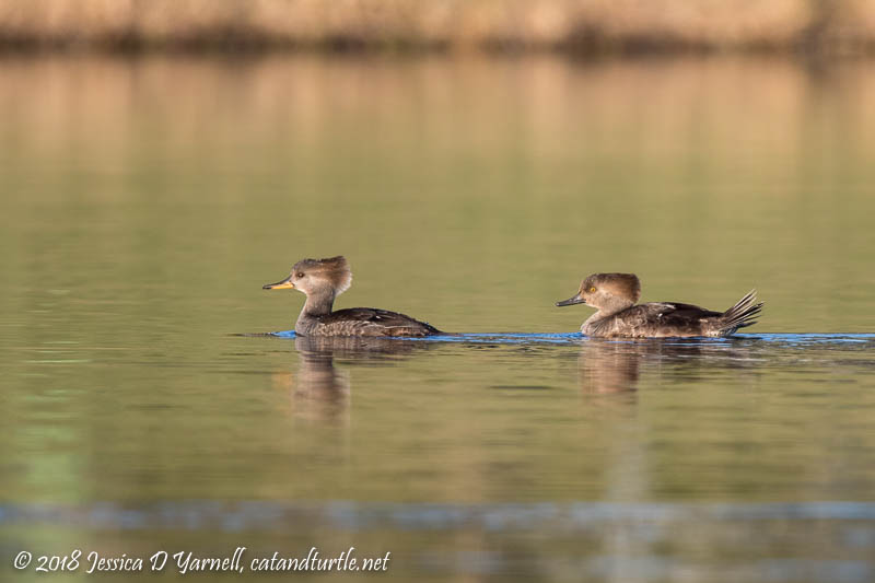 Hooded Mergansers (Female on Left, Juvenile Male on Right)