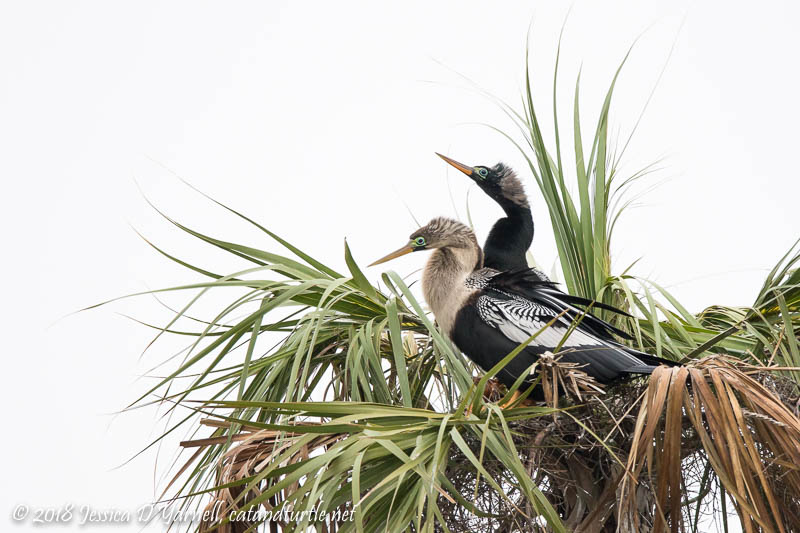 Nesting Anhingas in Breeding Plumage