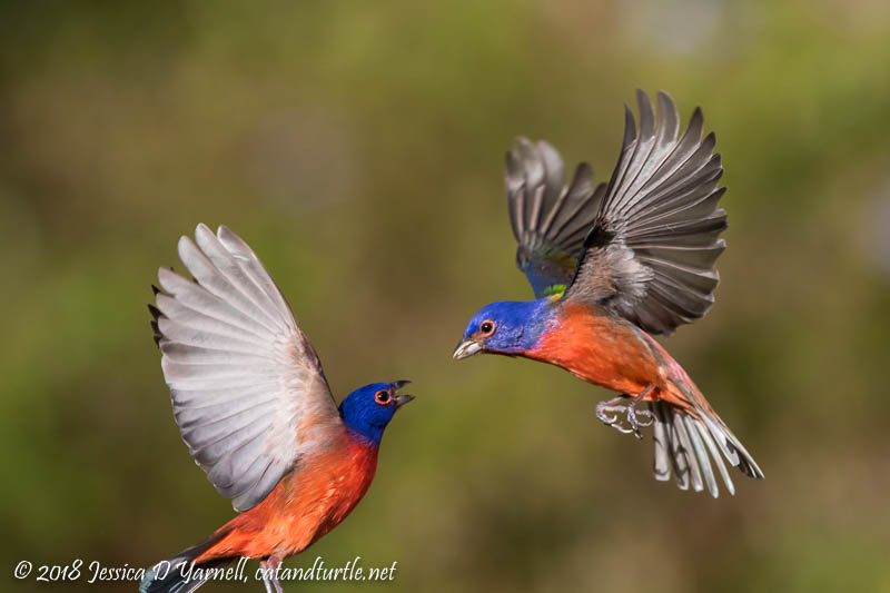 Painted Bunting Squabble