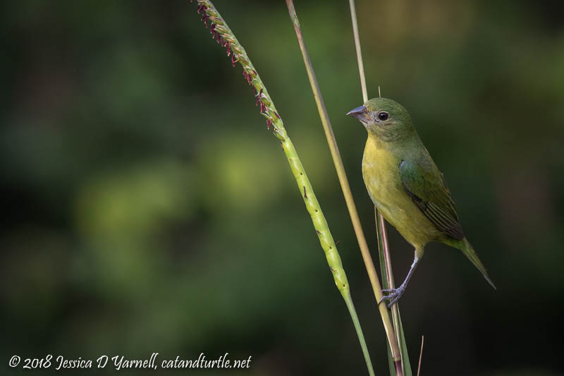 Painted Bunting on Grass