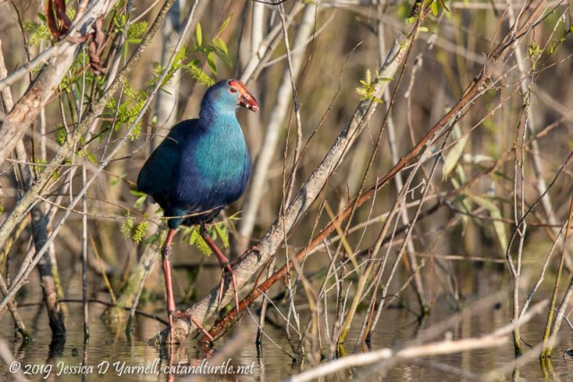 Gray-headed Swamphen