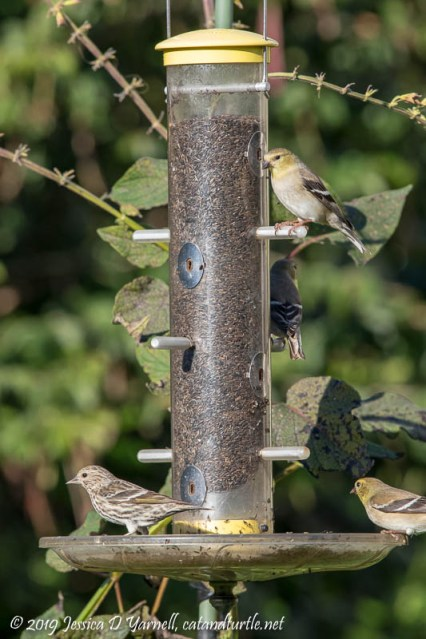 Pine Siskin with American Goldfinches at feeder
