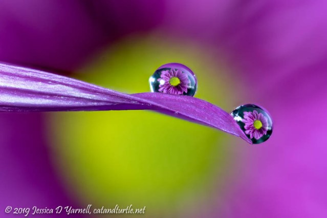 Purple Daisy Water Droplet Refraction