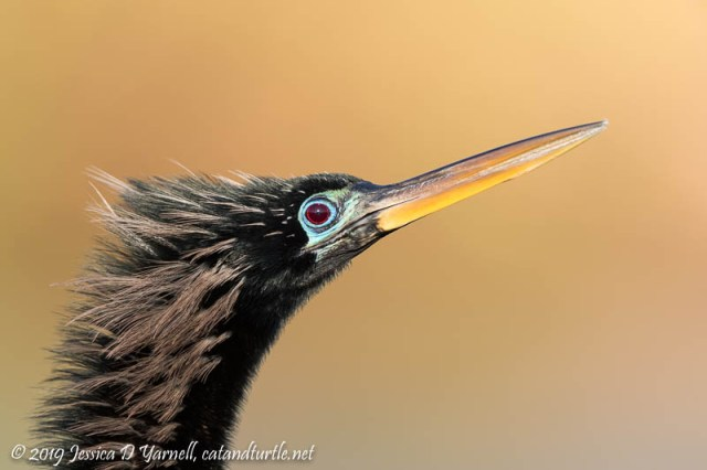 Anhinga Head Shot