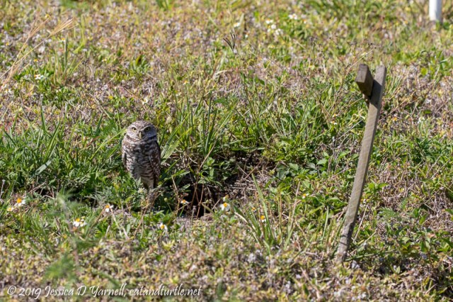 Burrowing Owl at Burrow