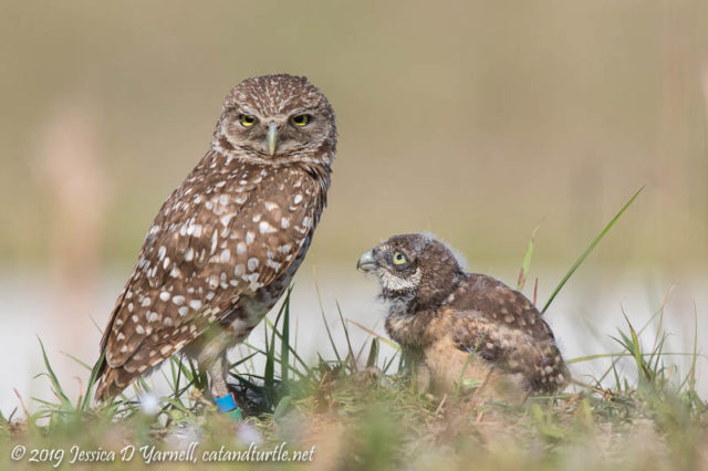 Burrowing Owl Parent and Chick
