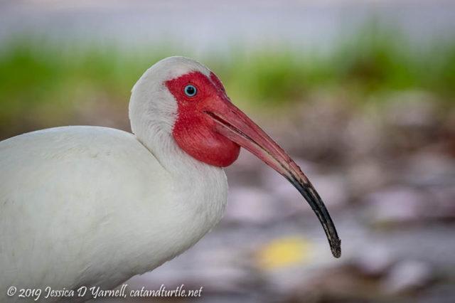 White Ibis (Breeding Plumage)