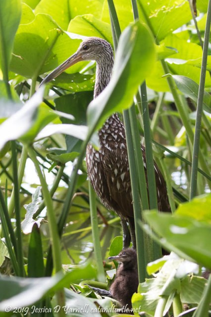 Adult and Baby Limpkin at Nest