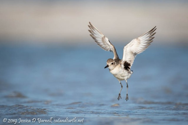 Black-bellied Plover Take-off