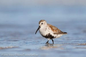 Dunlin in Breeding Plumage