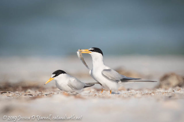 Least Tern Courtship: The female shows great patience as the male dances around with the fish