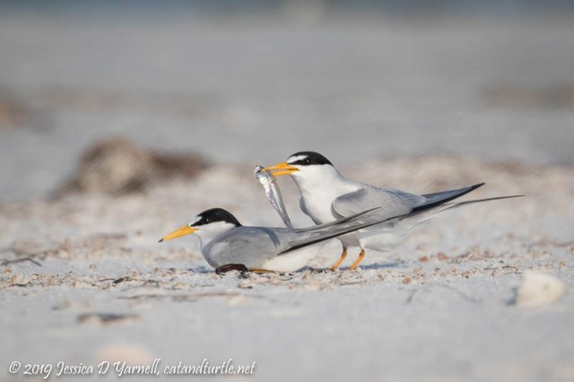 Least Tern Courtship: The Male Presents the Fish and the Female Gets into Position to Accept It