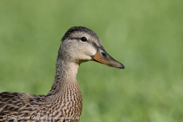 Mottled Duck Headshot