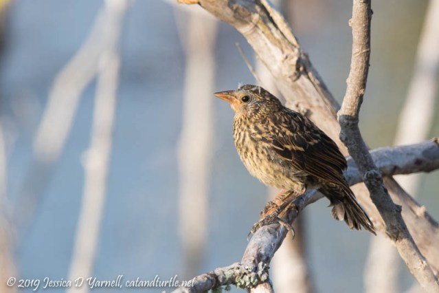 Red-winged Blackbird Baby