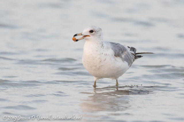 Ring-billed Gull with Breakfast