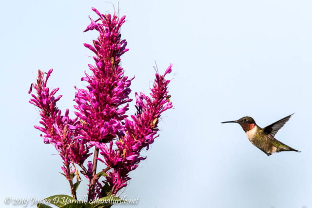 Ruby-throated Hummingbird Migrant