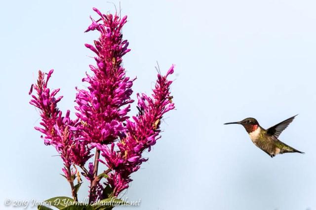 Ruby-throated Hummingbird Migrant