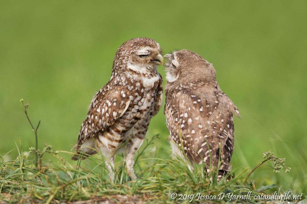 Burrowing Owl Kiss