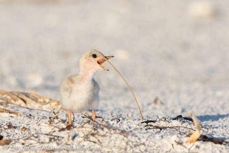 Least Tern Chick