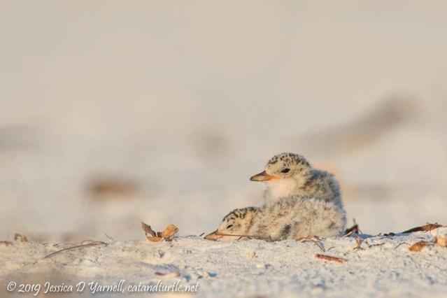Least Tern Chicks on Beach