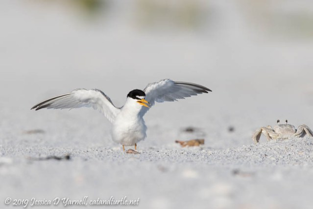 Least Tern Defending the Colony