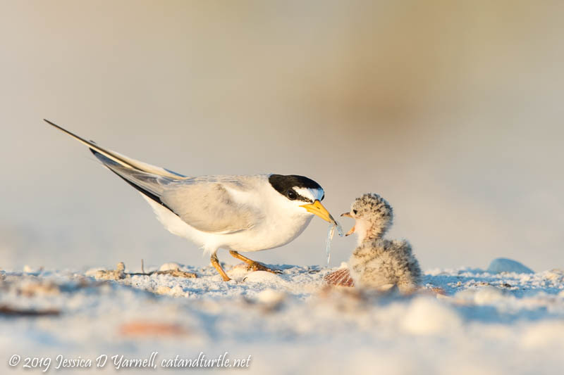 Least Tern Mom Feeding Baby