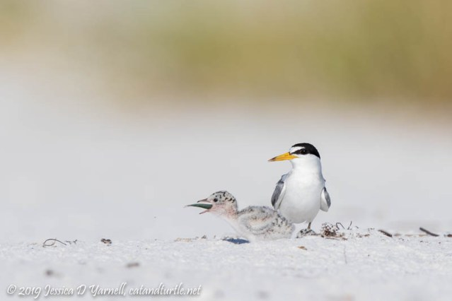 Least Tern and Baby Swallowing Fish