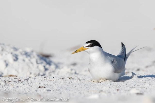 Least Tern on Eggs