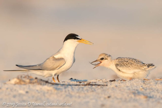 Least Terns: One of the Older Chicks