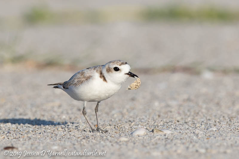 Snowy Plover with Eggshell