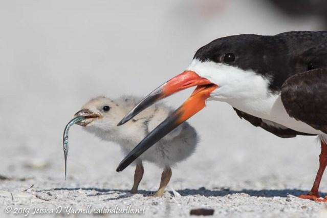 Baby Black Skimmer Feeding