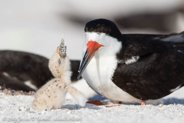 Black Skimmer Baby Learns how to Eat a Fish