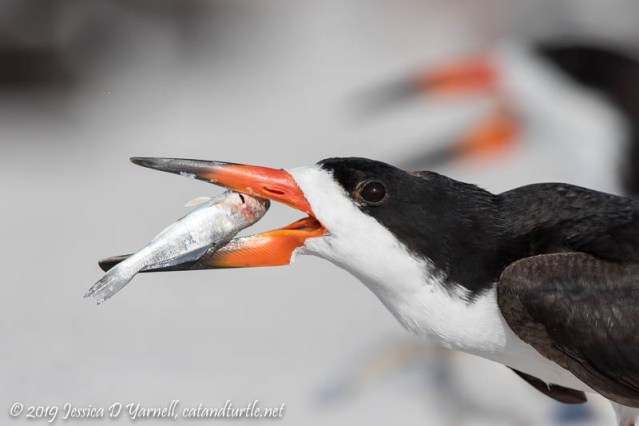 Black Skimmer with Fish