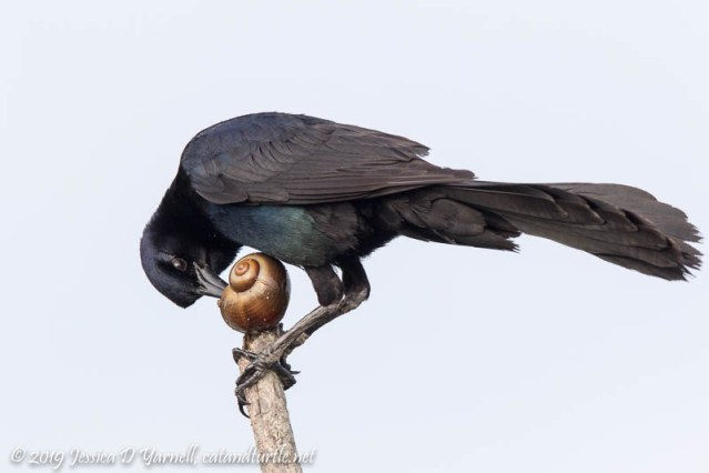 Grackle with Apple Snail