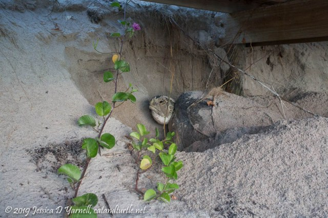 Green Sea Turtle Nesting Under Beach Steps