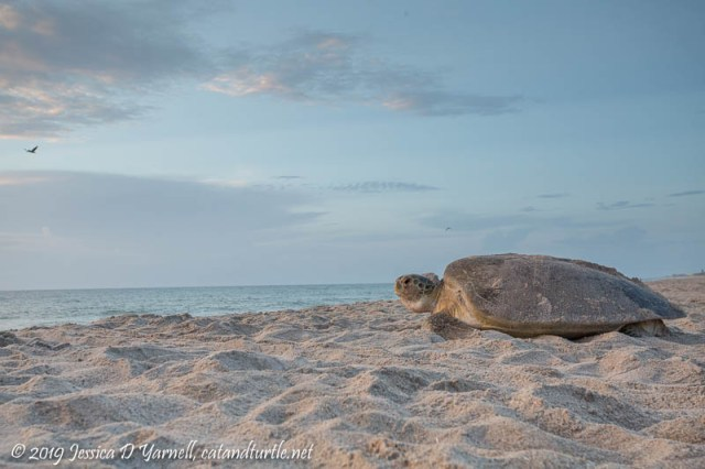 Green Sea Turtle Returning to Ocean After Nesting