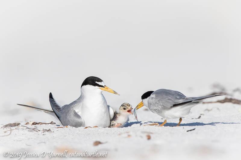 Least Terns Feeding Chicks