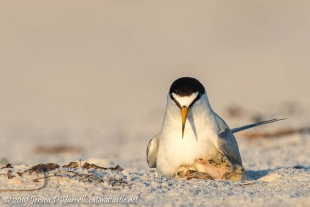 Least Terns: Yesterday, Today, and Tomorrow
