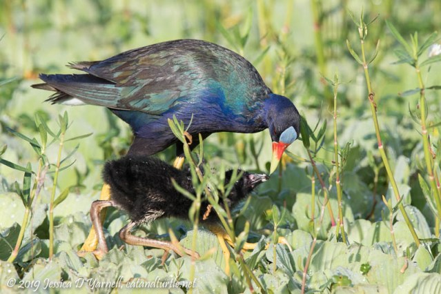 Purple Gallinule Mother and Baby