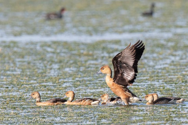 Fulvous Whistling-duck Family