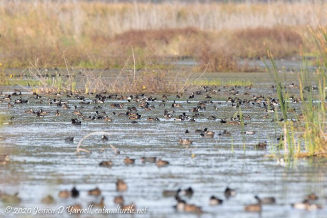 Wintering Ducks (Looking for a Needle in a Haystack)