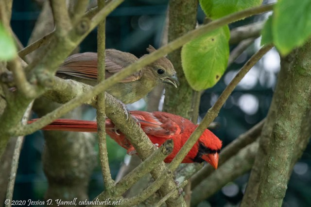 Northern Cardinal - Papa and Baby