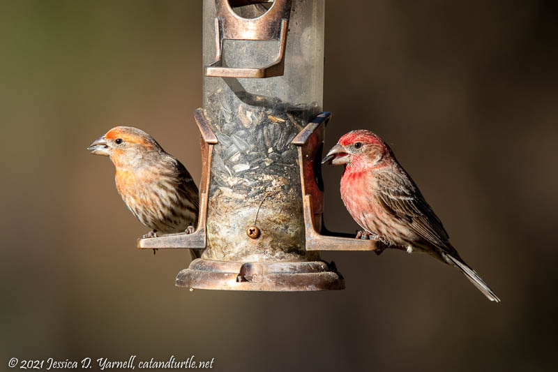 House Finches at Feeder